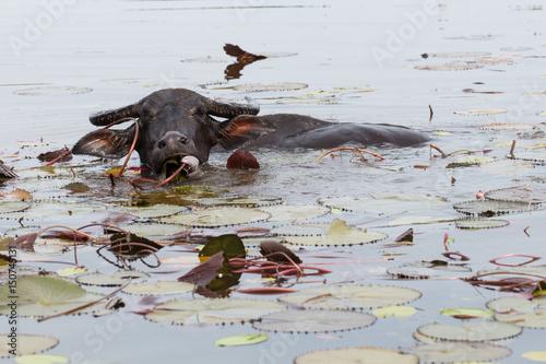 Staande foto Buffel Water buffalo