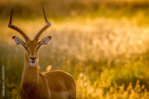 Poster Antilope Impala ram starring at the camera.