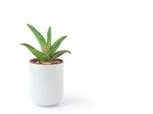 Closeup Aloe Vera Plant In Pot On White Background