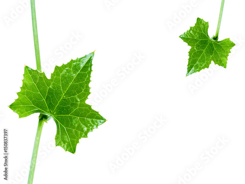 Fotografie, Obraz  Green ivy leaf