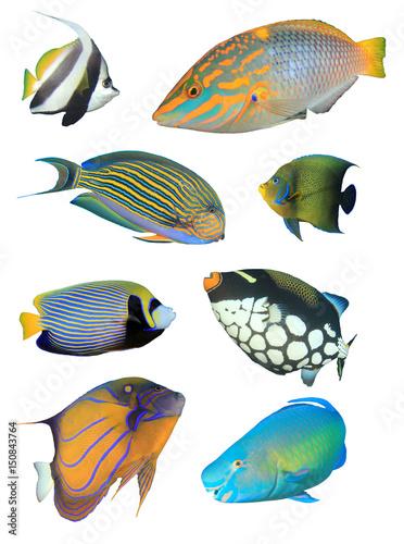 Tropical reef fish isolated on white background. Bannerfish, Wrasse, Surgeonfish, Angelfish, Triggerfish, Parrotfish