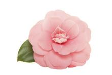 Single Blooming Pink Camelia J...