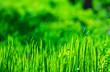 Leinwandbild Motiv Juicy green grass and wildflowers on a spring sunny meadow, natural background, wallpaper