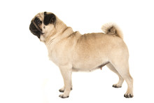 Adult Pug Standing Seen From The Side Isolated On A White Background