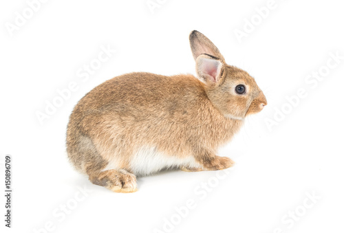 Poster Tortue Brown short hair adorable baby rabbit on white background