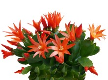 Orange Flowers Of Succulent Potted Plant