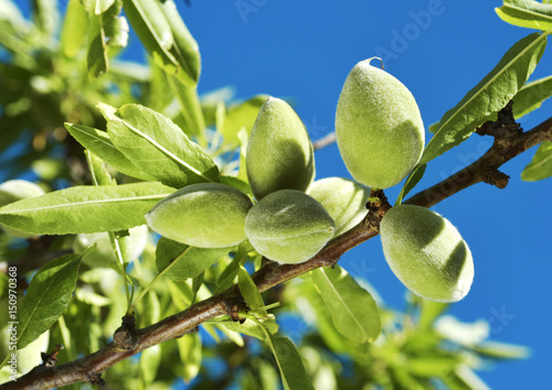 Photo branch of almond tree with green almonds