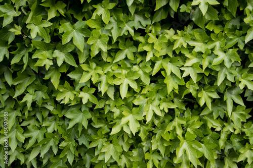 lierre lierre grimpant matière vert feuille texture végétal flore