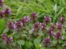 Dead Nettle Plant With Purple Flowers