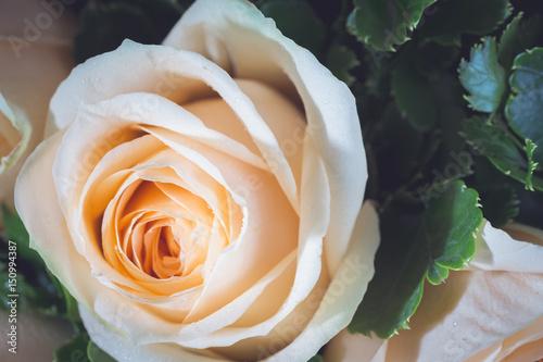 zblizenie-na-biala-roze-widok-z-gory