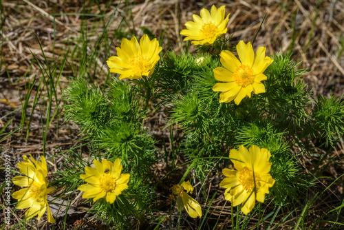 Photo adonis yellow flowers spring grass