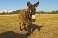Woolly Donkeys, A Rare Type (Baudet Du Poitou) Once Used To Carry Salt, St. Martin De Re, Ile De Re, Charente-Maritime, France,  Europe