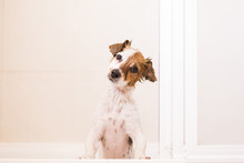 Cute Lovely Small Dog Wet In Bathtub Looking At The Camera. White Background. Indoors