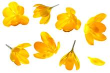 Crocus Yellow Flower Isolated ...