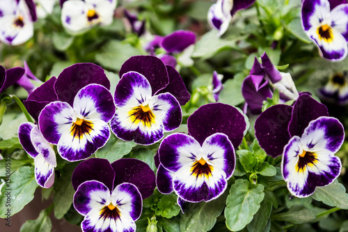 In de dag Pansies Purple flowers close-up