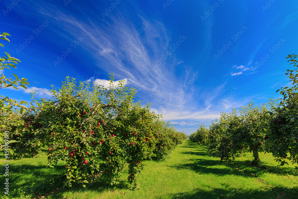 Rows of apple trees in an apple orchard.