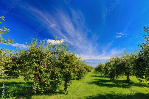 Plakat Rzędy jabłoni w sadzie jabłkowym.