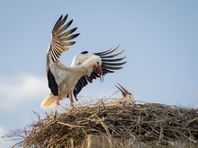 Adult White Stork (Ciconia Cic...