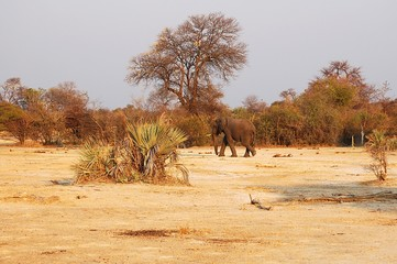 Lonely Elephant in the savannah of Botswana