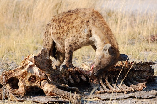 In de dag Hyena Giraffe bones eating Hyena in the Etosha National Park in Namibia