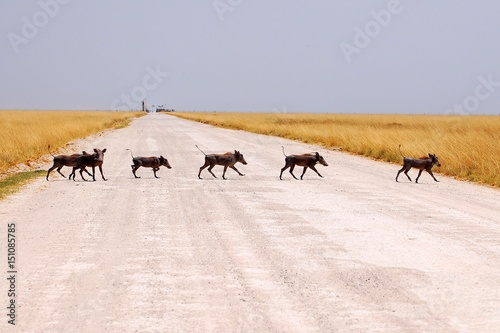 Photo  Warthog family crossing the road in the Etosha National Park in Namibia