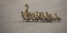 Mama Duck And Twelve Ducklings...