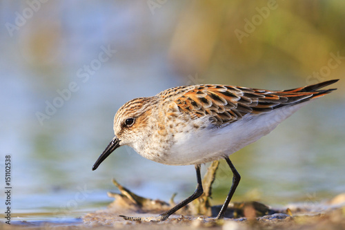 Fotografie, Tablou little stint ,Calidris minuta search of food in the swamp