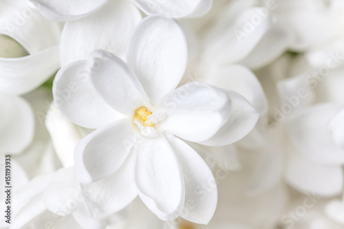 Foto auf AluDibond Flieder White lilac flowers wallpaper, floral motif background