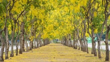Yellow Flower Or Cassia Fistula Or Golden Shower In The Park For Background