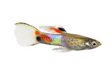Endler Guppy Poecilia Wingei Tiny Colorful Tropical Aquarium Fish
