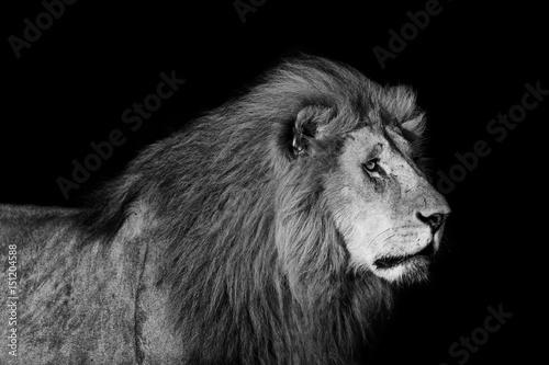 Zdjęcie XXL Portret duży lew Romeo 2 dwoistego krzyża duma w Masai Mara z czarnym tłem