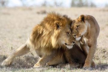 Fototapeta Lew Lions in love