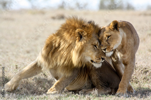 Lions in love Fototapet