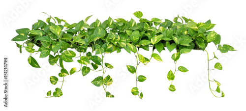 Heart shaped leaves vine golden pothos isolated on white background heart shaped leaves vine golden pothos isolated on white background clipping path included mightylinksfo