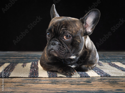 Fotobehang Franse bulldog The dog lying on the floor. Glance, the expression of doubt, distrust