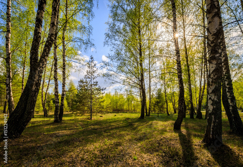Birch forest with young leaves in spring. Wallpaper Mural