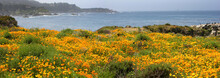 Californian Poppies In Point Lobos State Park