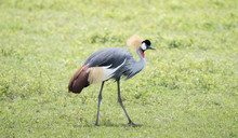 Gray-crowned Crane (Balearica Regulorum) In A Grassy Field In Northern Tanzania
