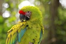 Wild Parrot Bird, Green Parrot Great-Green Macaw
