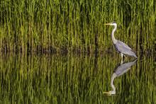 Grey Heron In Holland