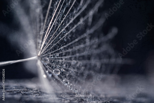 Obraz Dandelion seeds with water drops and beautiful shades - fototapety do salonu