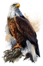 The Bald Eagle Watercolor Painting
