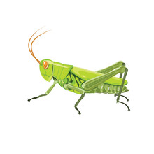 Grasshopper Color Green