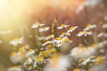 FototapetaEar of wheat, beautiful wheat field and wild chamomile - daisy flower