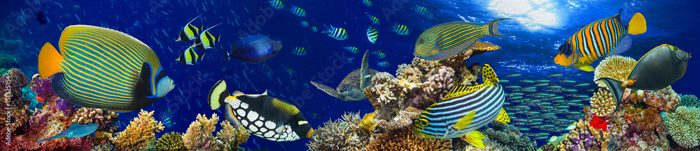 Fototapeta colorful wide underwater coral reef panorama banner background with many fishes turtle and marine life