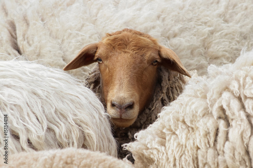 Keuken foto achterwand Schapen Differenz: Dunkles Schaf schaut aus einer Herde heller Tiere Coburger Fuchsschaf