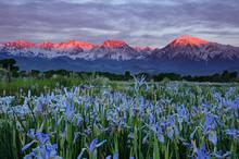 Wild Iris Flowers With Sunrise...