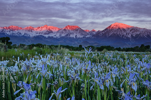 Wild Iris Flowers With Sunrise Mountains Wallpaper Mural