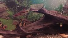Aquarium Colourfull Fishes In Dark Deep Blue Water. Aquarium Fish. Zebra Loach Catfish Botia Striata Aquarium Fish. Fish In Aquarium- Sea Life