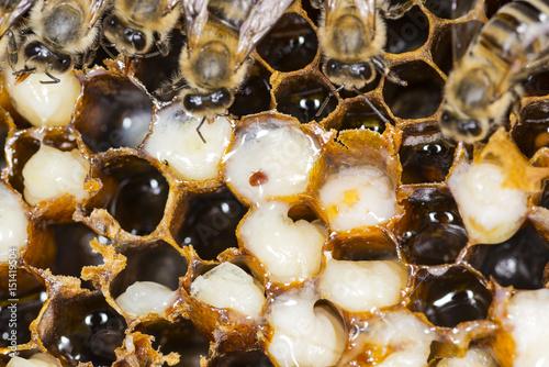 Fotografía  Mite in a beehive